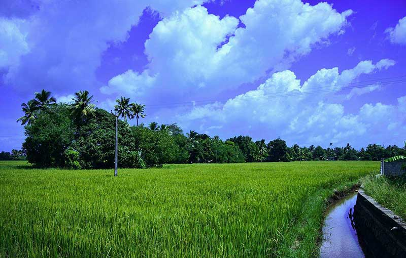 Reice Bowl of Kerala - Kuttanad